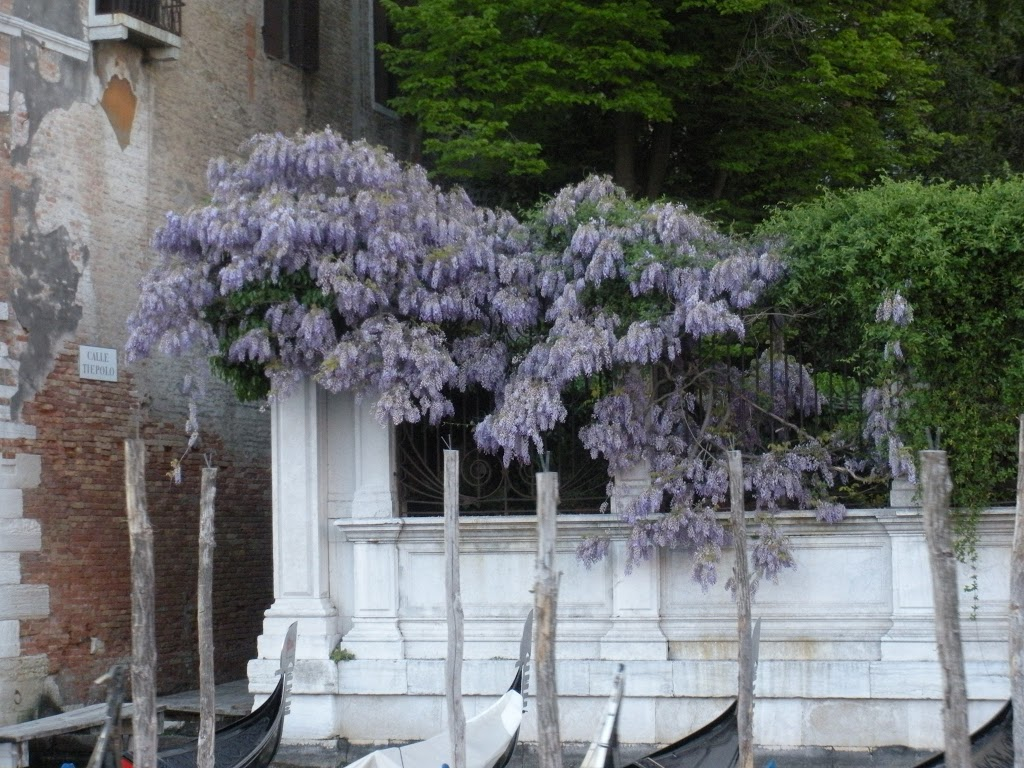Beautiful purple flowers in Venice