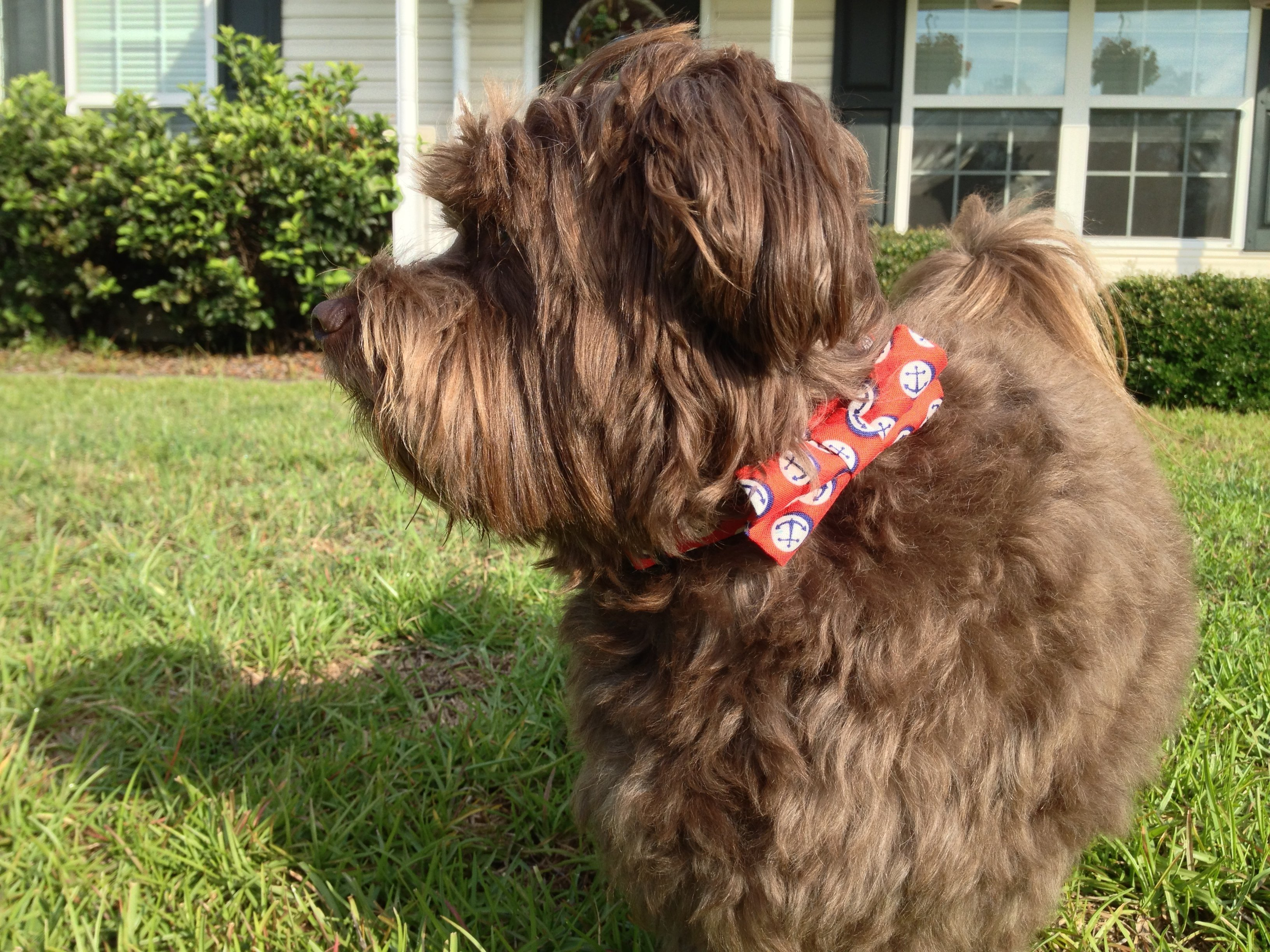 Chip wearing red anchor Rover Boutique dog collar