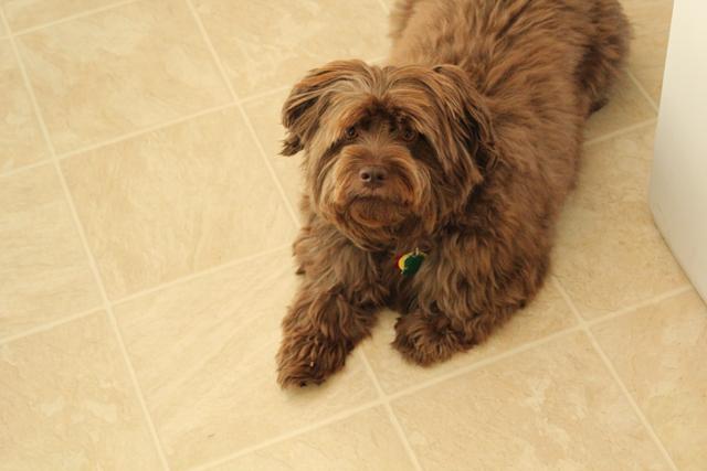 chocolate maltese dog