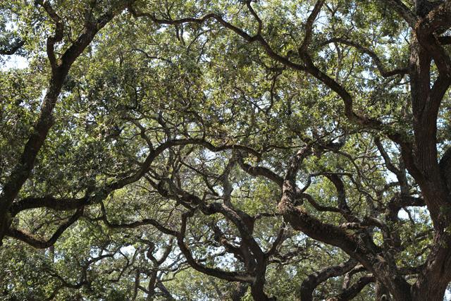 savannah oaks h