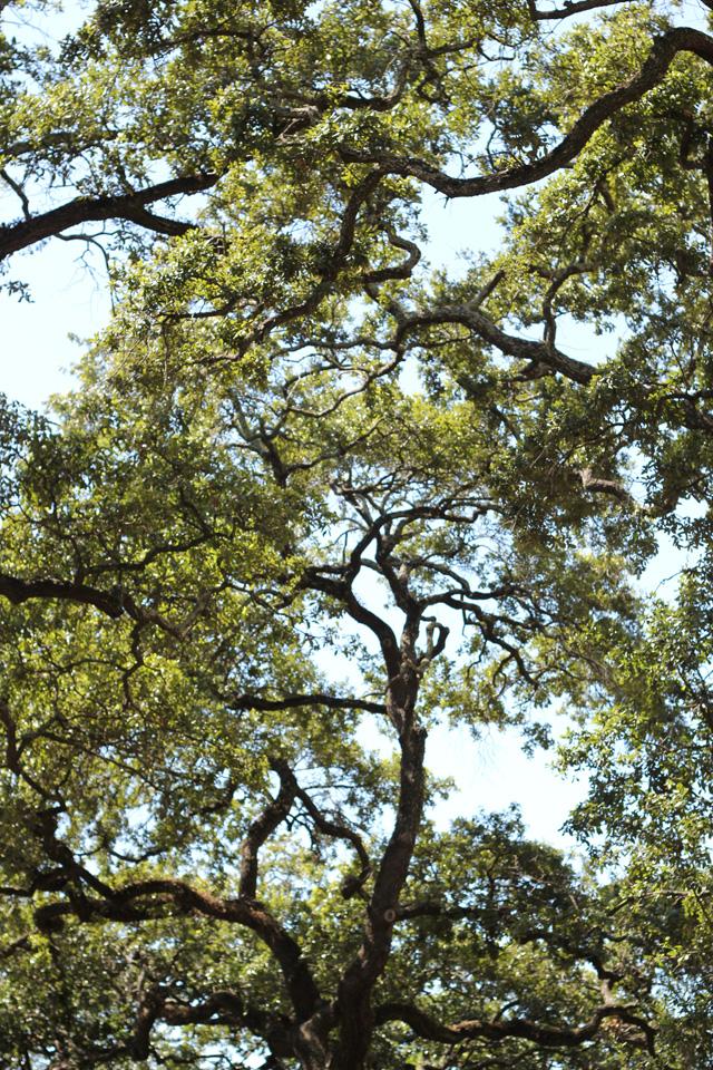 savannah oaks v