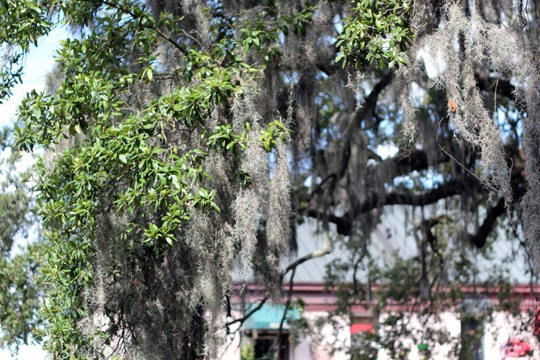 spanish moss Savannah GA