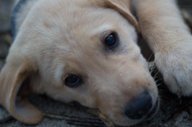 golden retriever puppy dog eyes