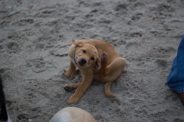 golden retriever puppy has fleas