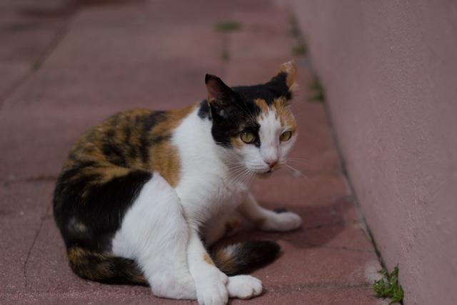 calico cat of Old San Juan