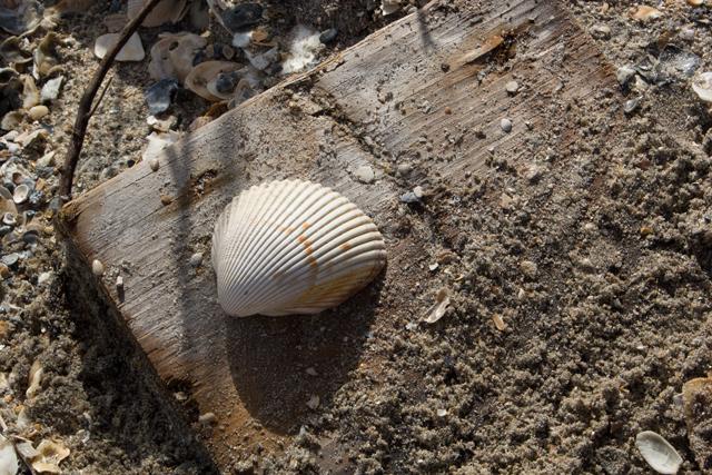 seashell on driftwood - Botany Bay - Edisto Island #edisto #southcarolina