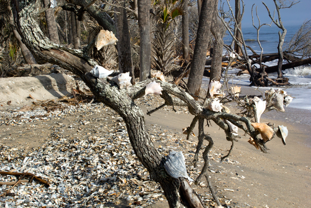 seashell tree - Botany Bay Edisto Island #edisto #southcarolina.jpg