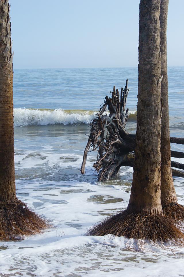 tree roots Botany Bay, Edisto Island #edisto #southcarolina