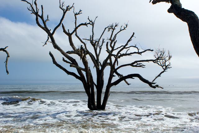 trees at lower tide Botany Bay, Edisto Island