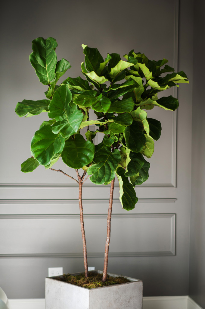 My Newest Baby The Fiddle Leaf Fig Tree