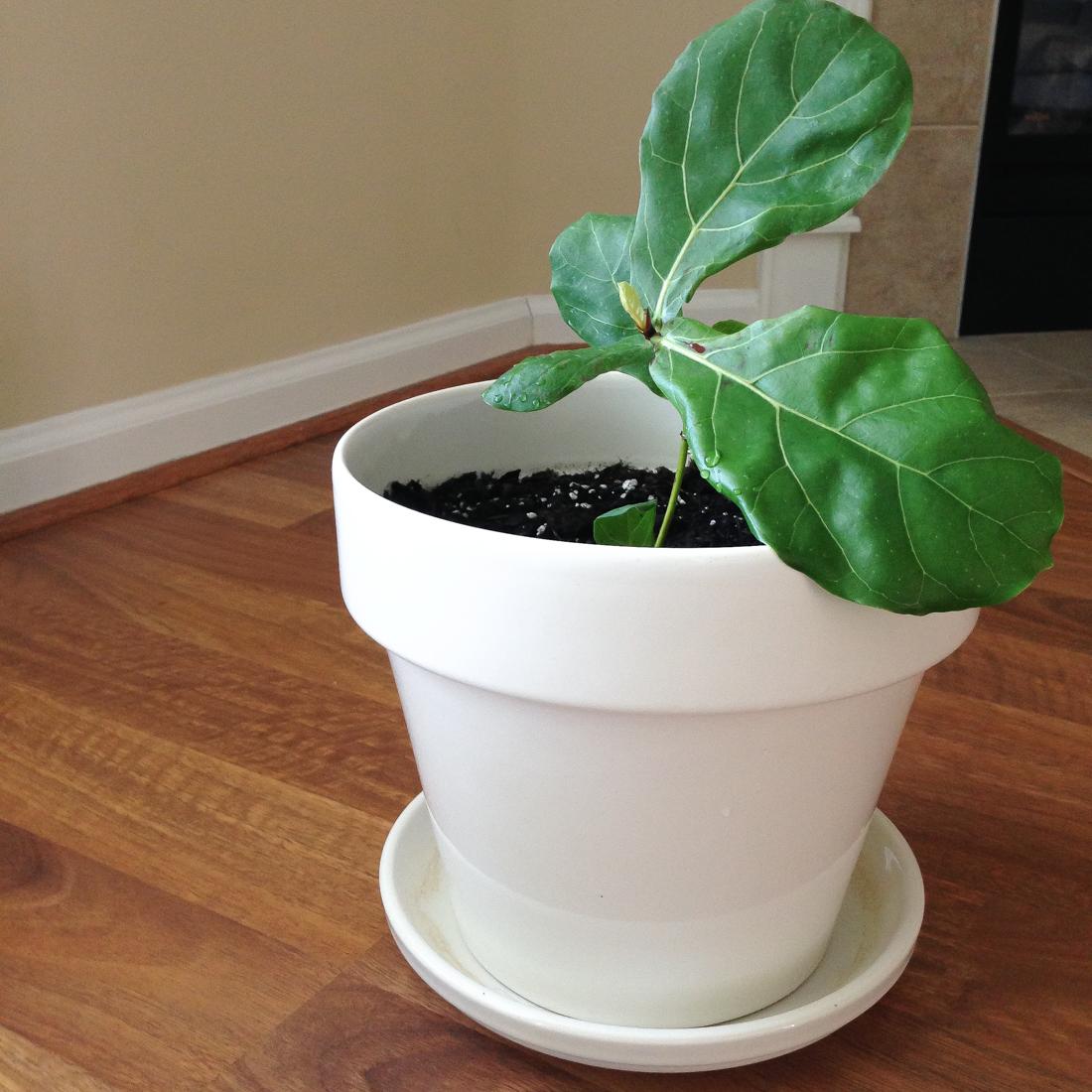 Baby Fiddle Leaf Fig Fresh
