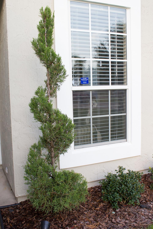 Hexi Juniper spiral topiary