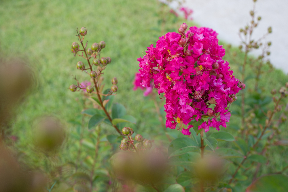 Tonto crape myrtle bloom