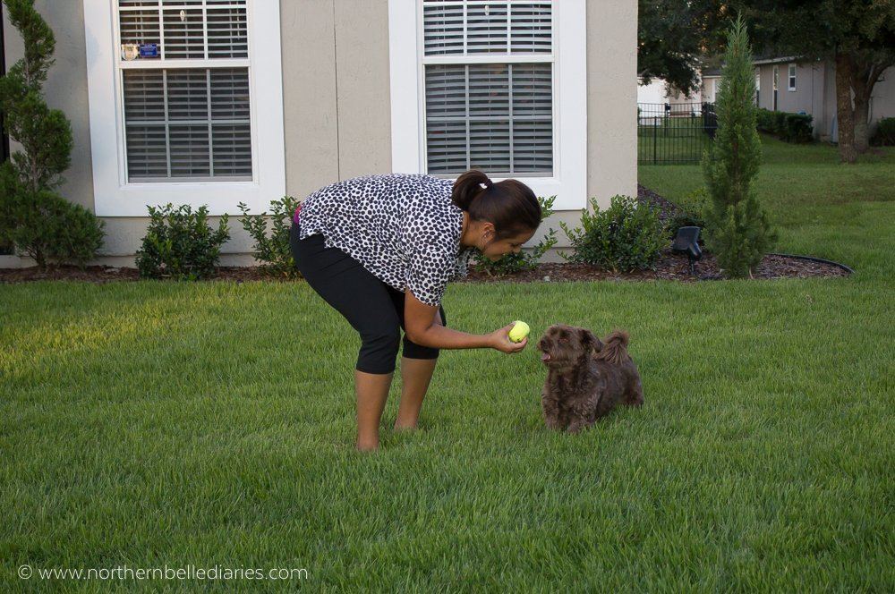 Brown dog wants Kong ball #ad
