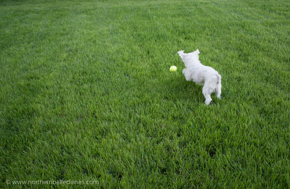 Maltese chasing Kong ball #ad