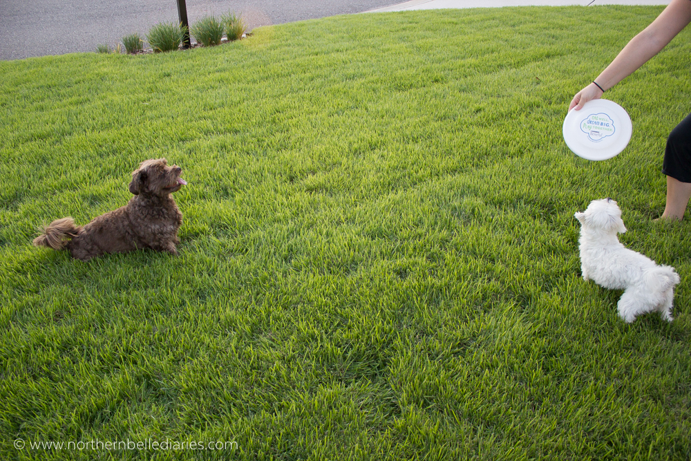 dogs want frisbee #ad