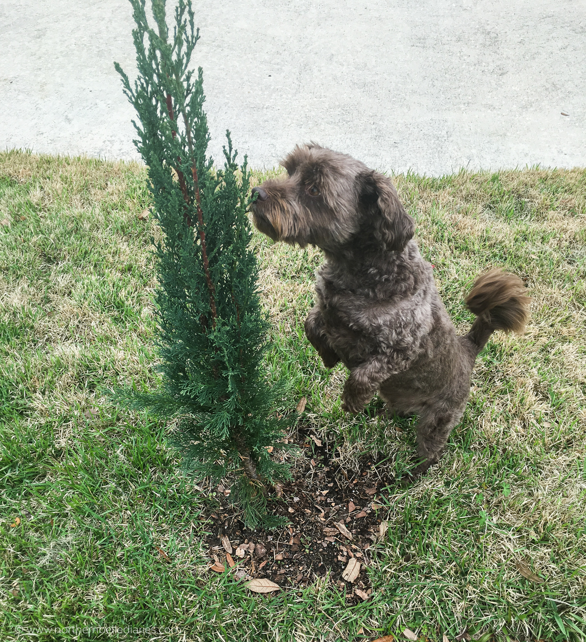 Dog looking for lizard in Italian cypress