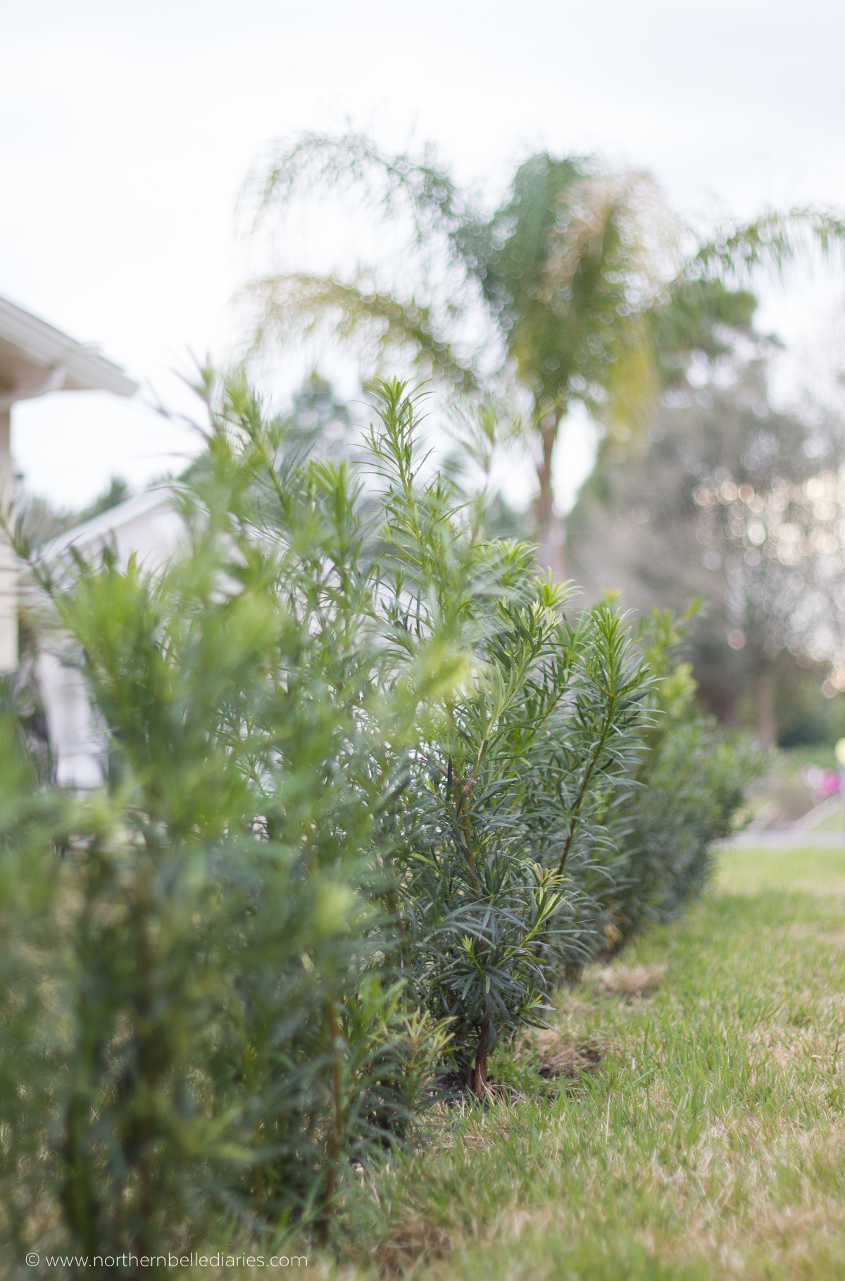 new podocarpus hedge