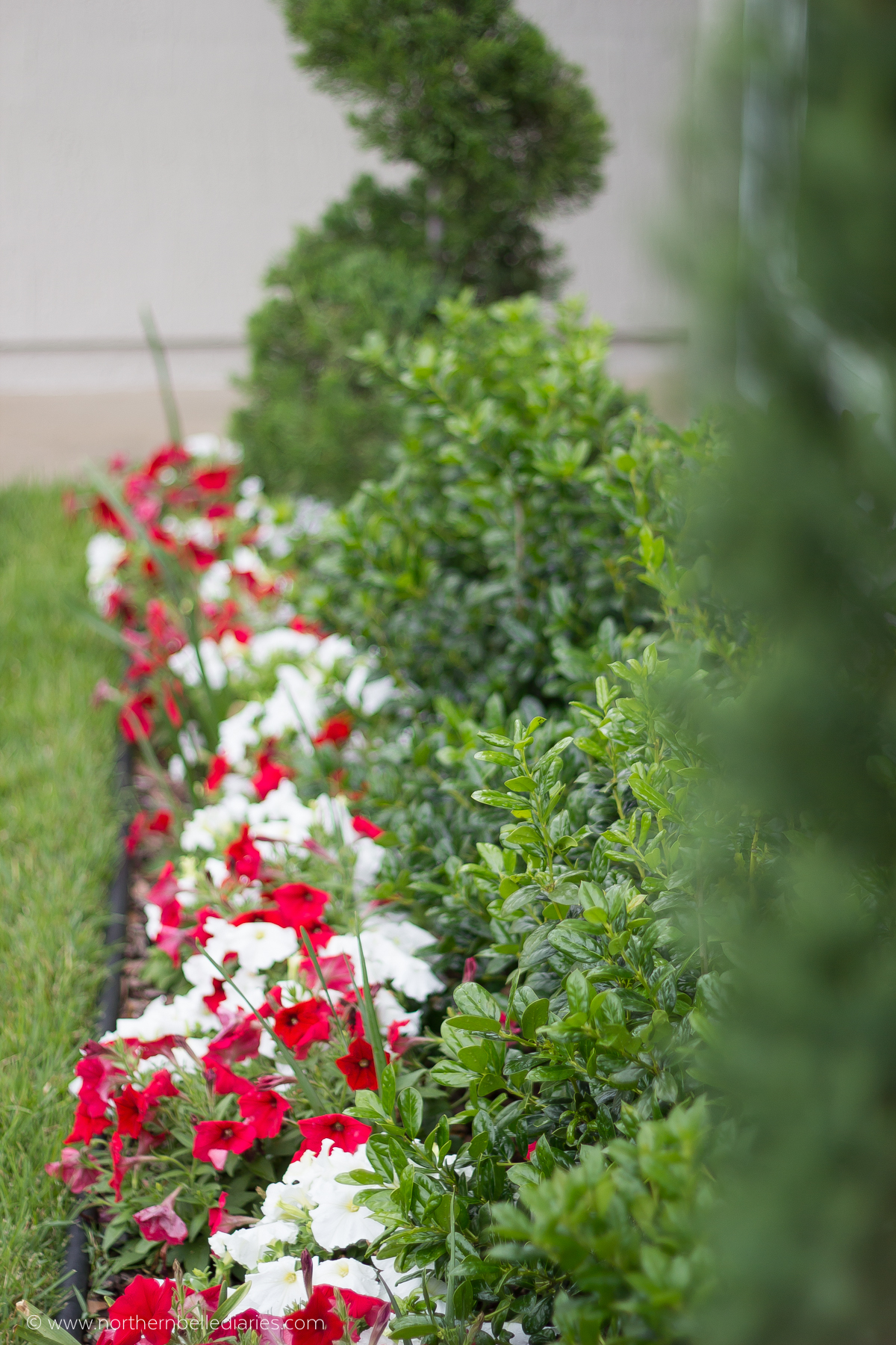 red and white petunias and sir winston churchill narcissus with holly in flowerbed