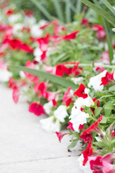 red and white petunias sir winston churchill narcissus in flowerbed
