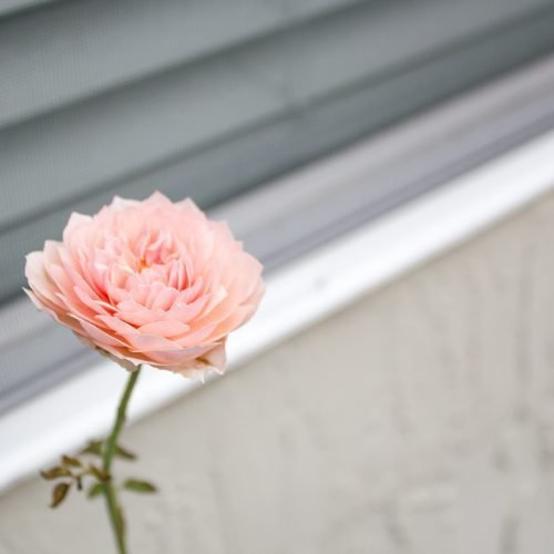 The Alnwick Rose by David Austin in north Florida