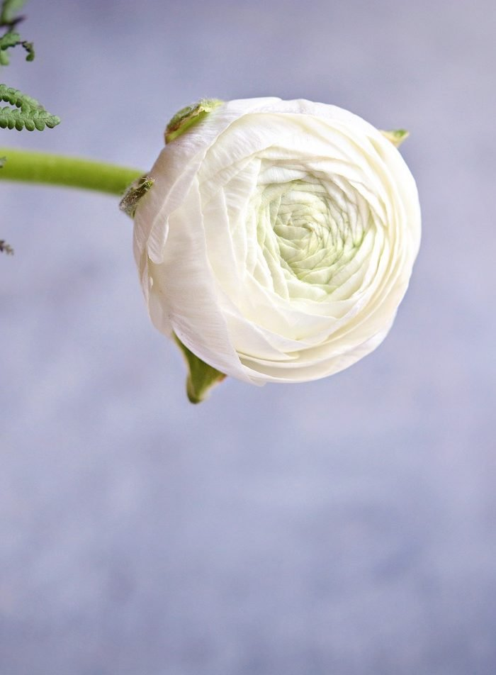 Ranunculus | The Alternative for Peonies in Mild Winter Climates