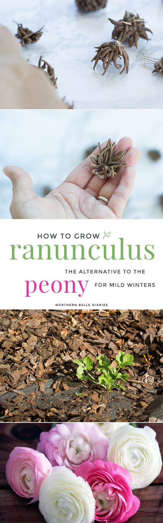 How to Grow Ranunculus | The Alternative to Peonies for Mild Winters - Do you love peonies and want to grow them in your garden but live in warm coastal areas? Try planting ranunculus, aka Persian buttercups. Inexpensive and long-blooming, your vases will be overflowing for weeks!