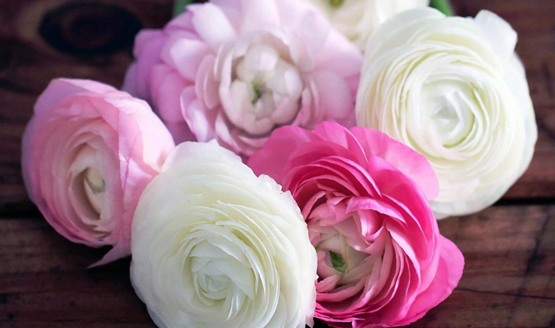 How to Grow Ranunculus   The Alternative to Peonies for Mild Winters - Do you love peonies and want to grow them in your garden but live in warm coastal areas? Try planting ranunculus, aka Persian buttercups. Inexpensive and long-blooming, your vases will be overflowing for weeks!