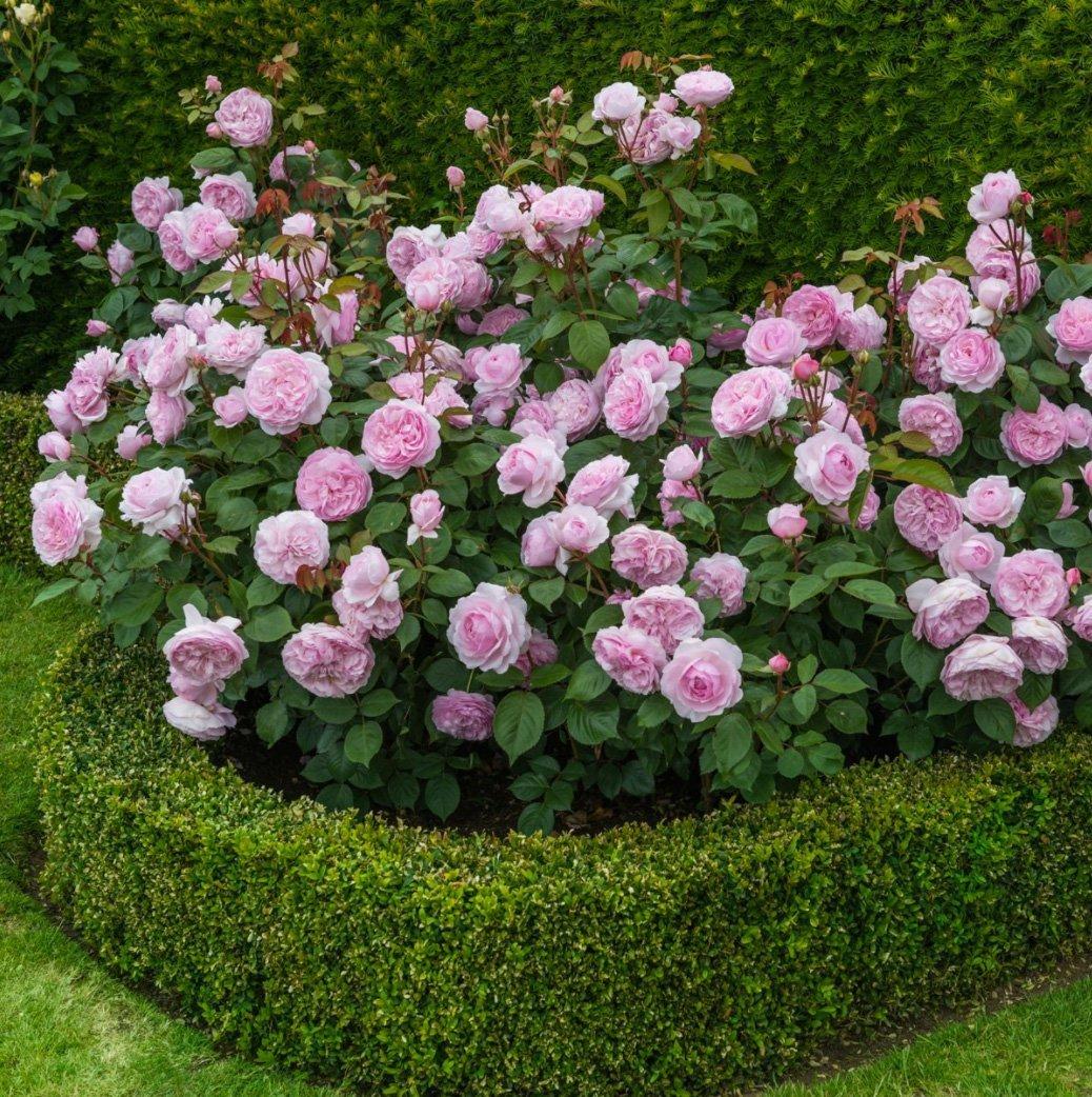 Olivia Rose   David Austin roses