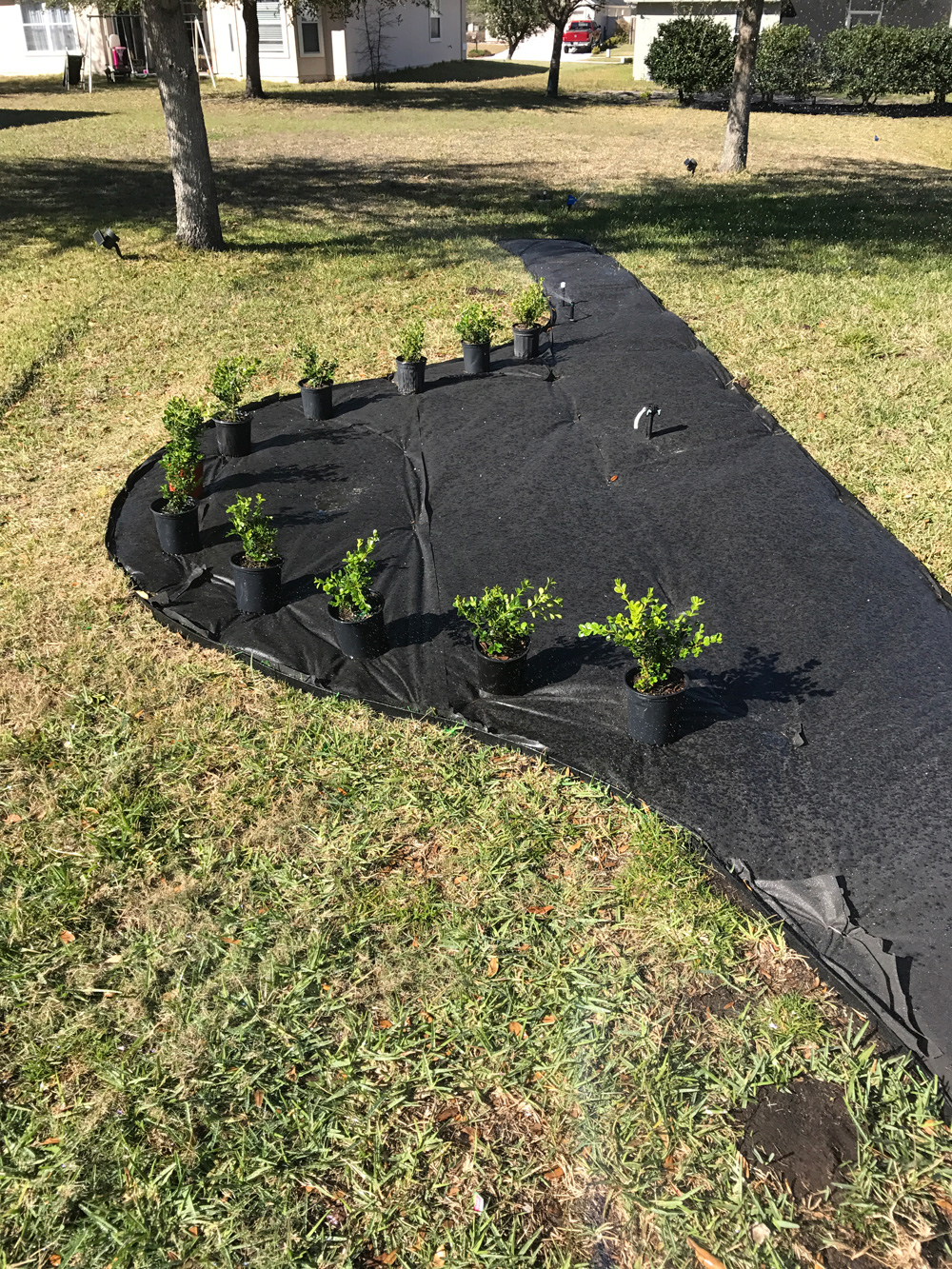 placing-japanese-boxwoods-in-new-bed