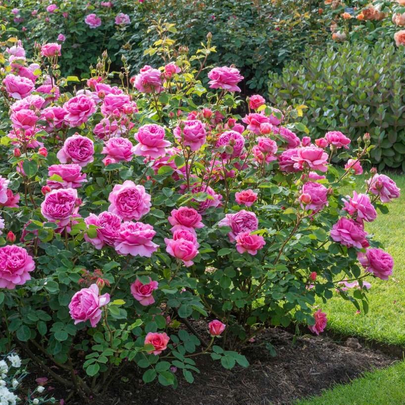 Princess Alexandra of Kent   David Austin roses