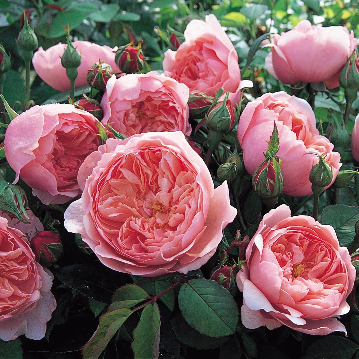 The Alnwick Rose | David Austin roses