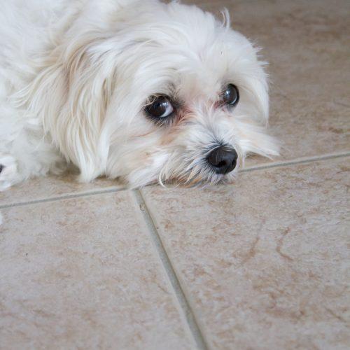 Daisy the tired puppy | BarkBox March 2017 treats