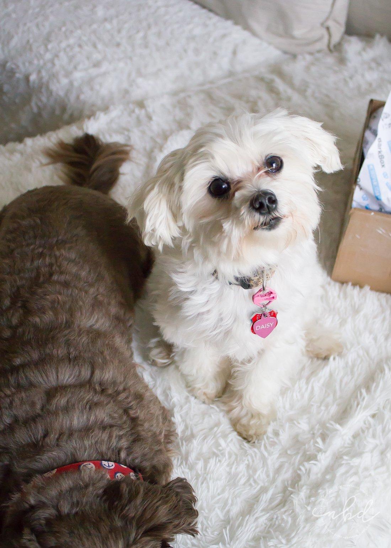 Daisy waiting for treat | BarkBox March 2017 treats