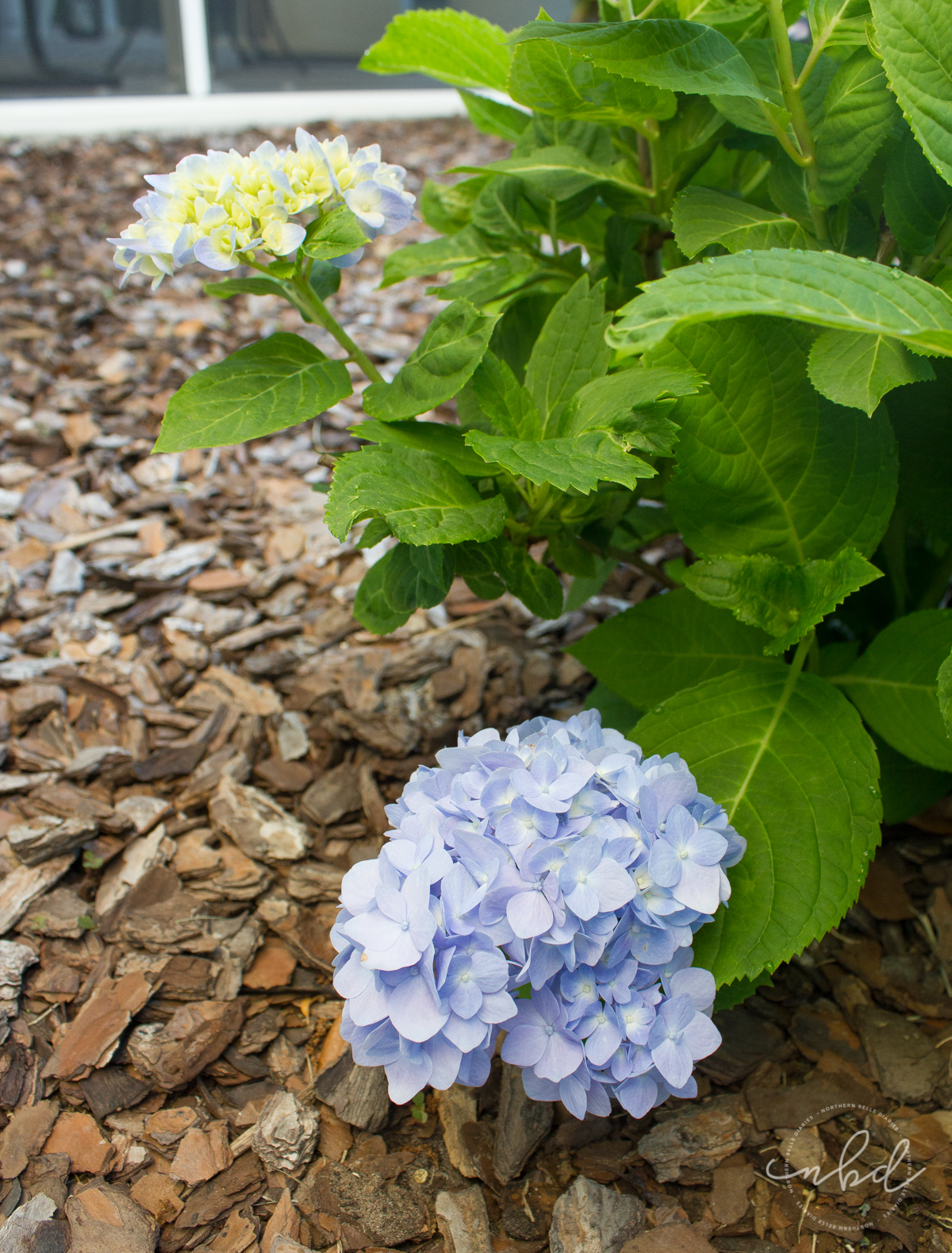 Lowe's #MyOutdoorOasis blue hydrangeas - Northern Belle Diaries