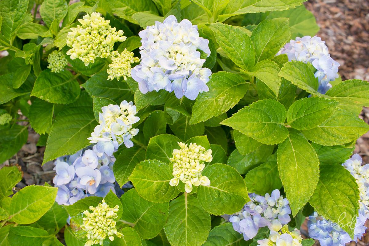 Lowe's #MyOutdoorOasis blue hydrangeas - La La Lisette
