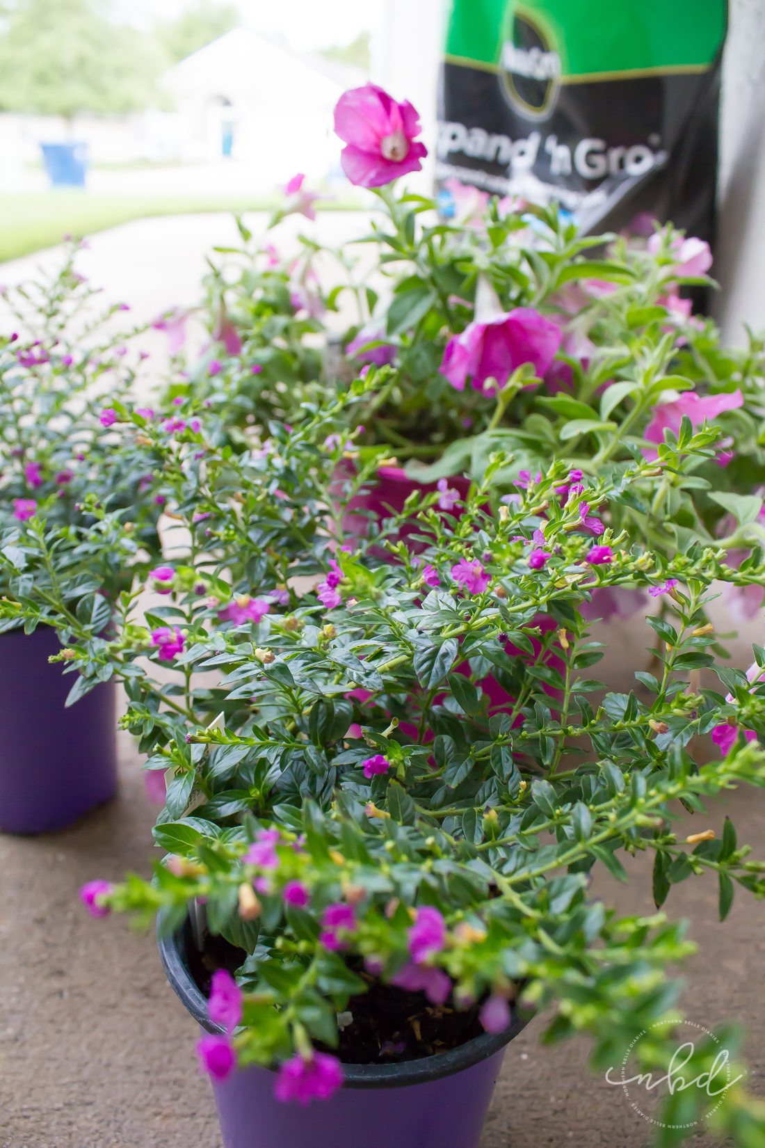Mexican Heather - How to Create a Beautiful Planter