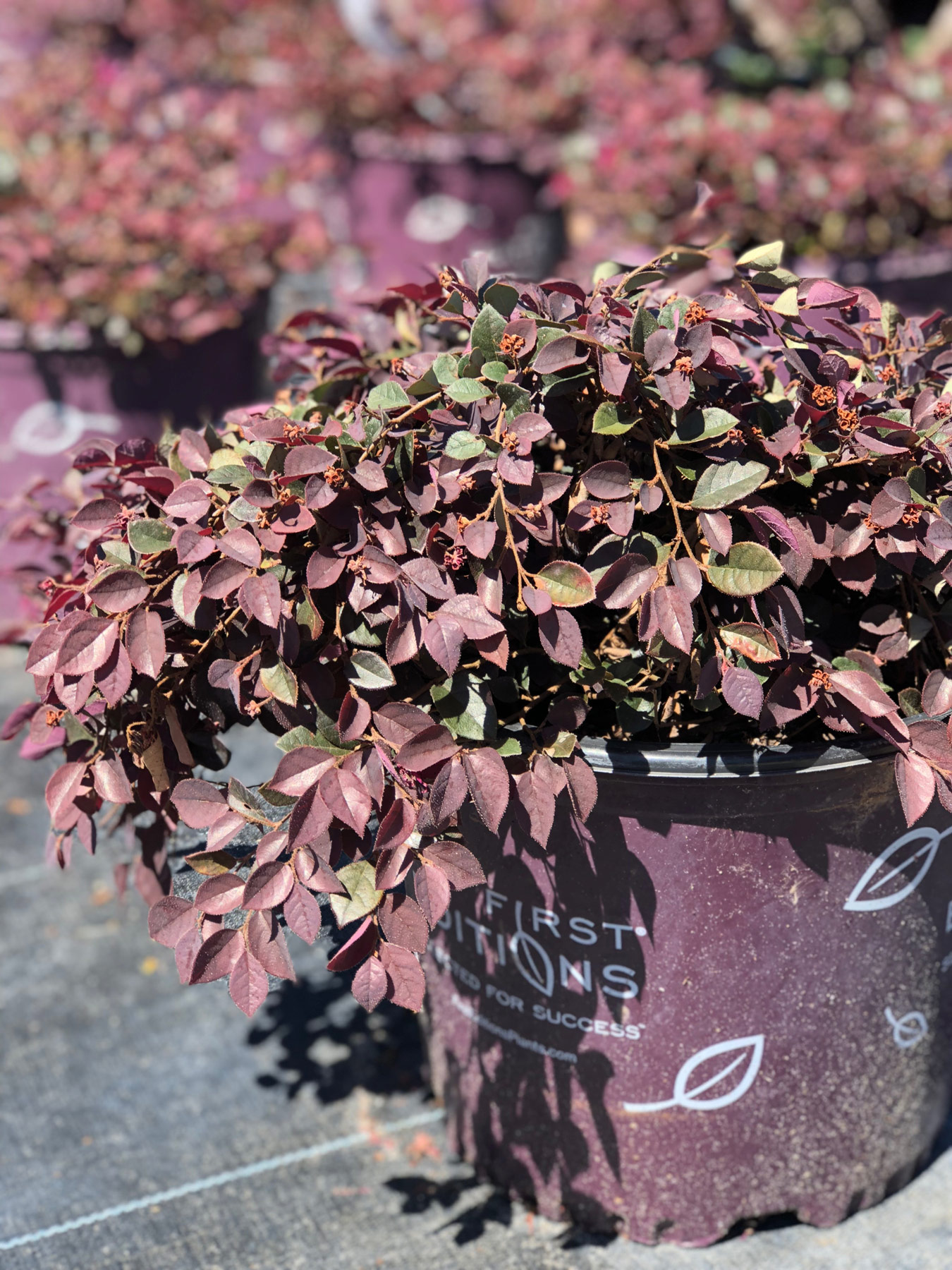 loropetalum in purple First Editions pot