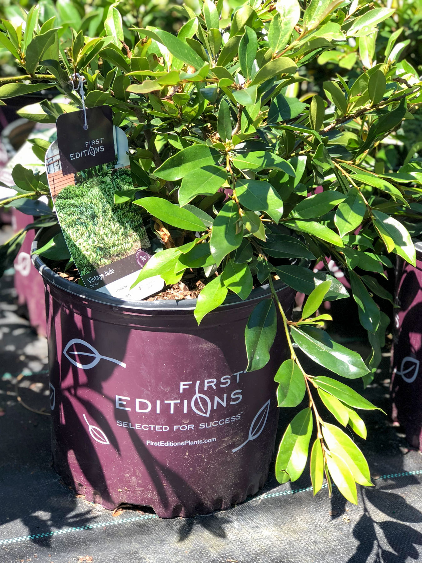 Vintage Jade Distylium in First Editions purple pot; a great plant to use in your landscape in the South