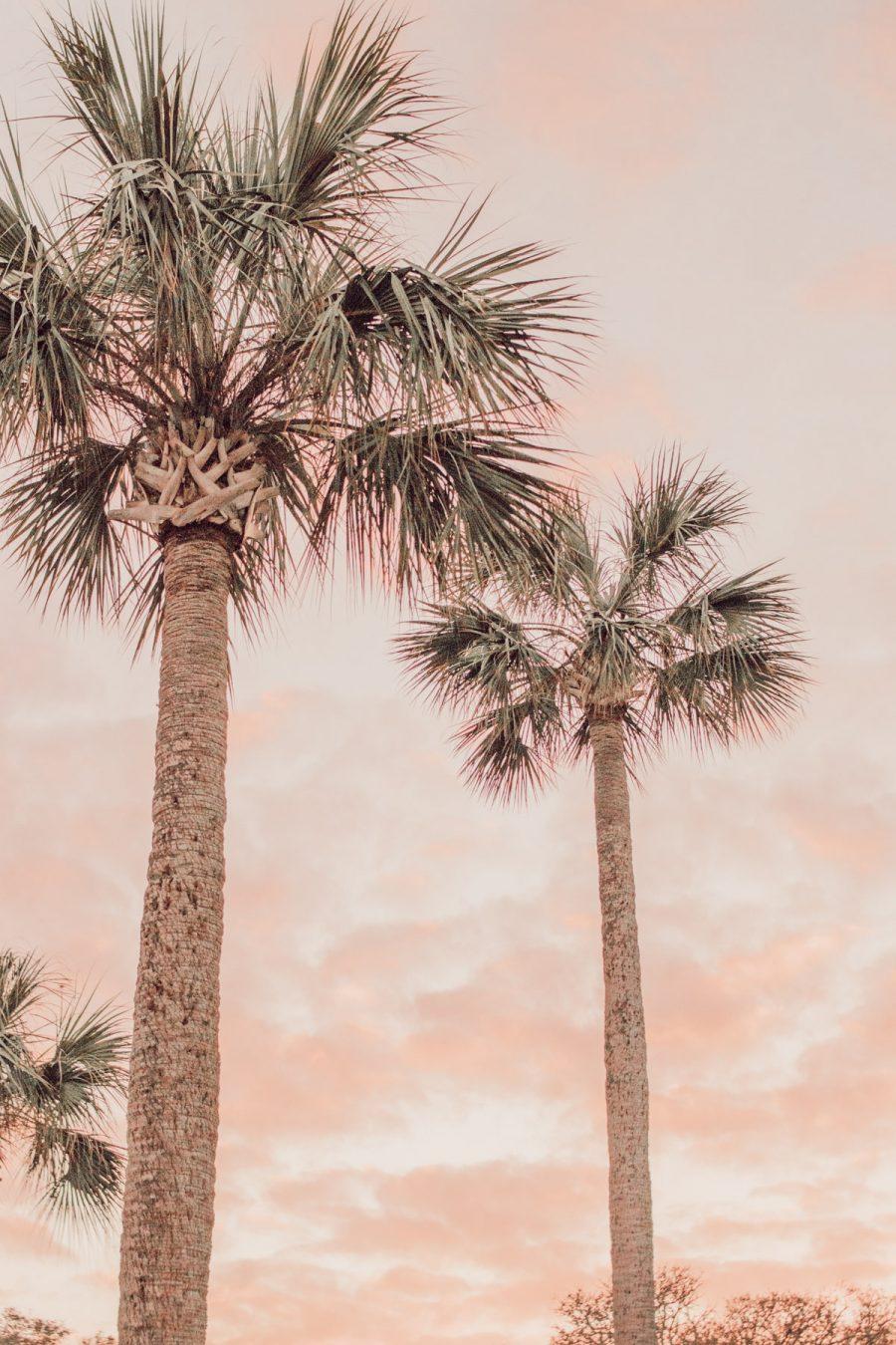 Florida sunset cabbage palms