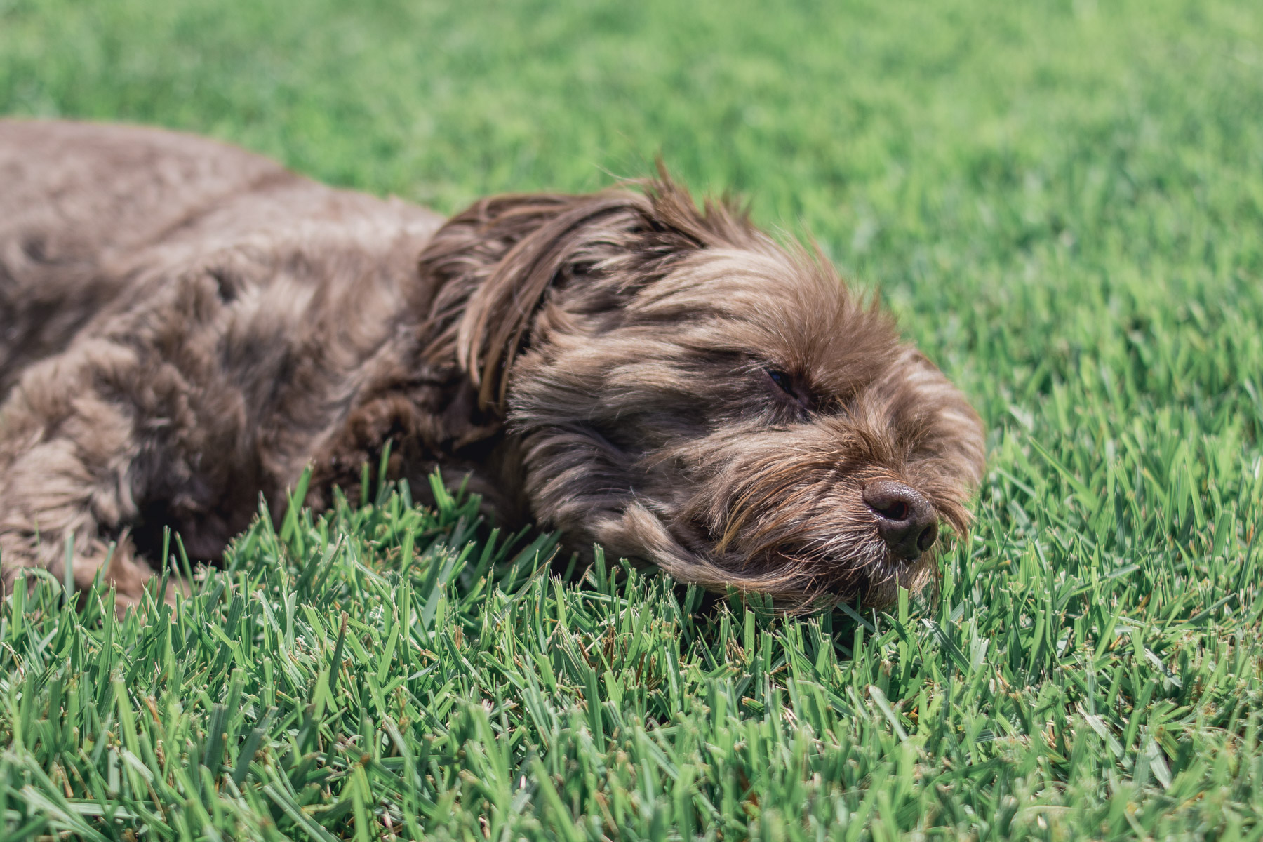 Brown dog laying in grass