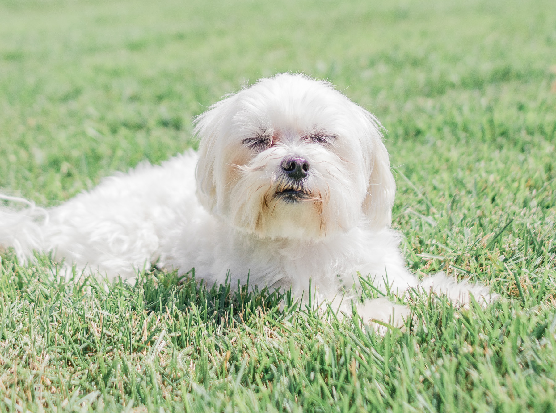 Maltese with eyes closed