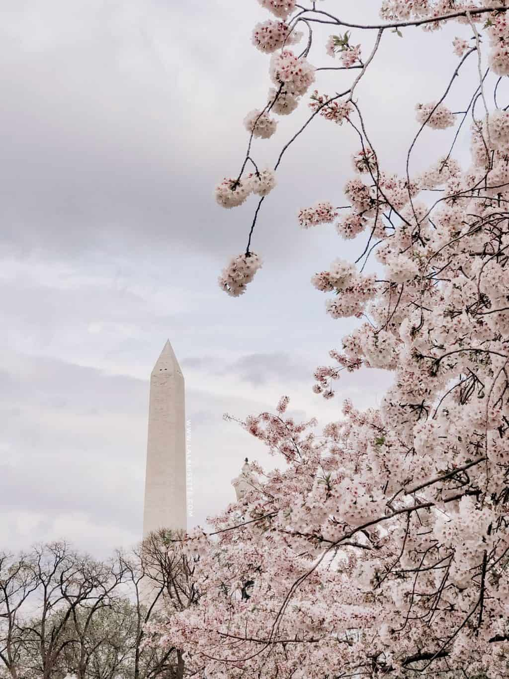 Washington Monument and the cherry blossoms