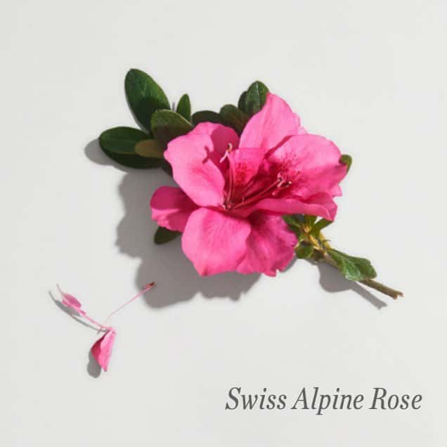 Swiss Alpine Rose