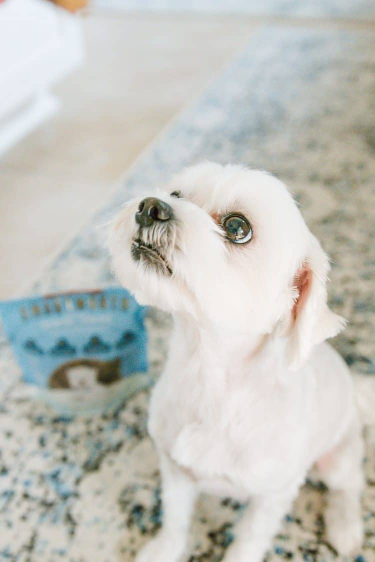 Maltese looking up at treat
