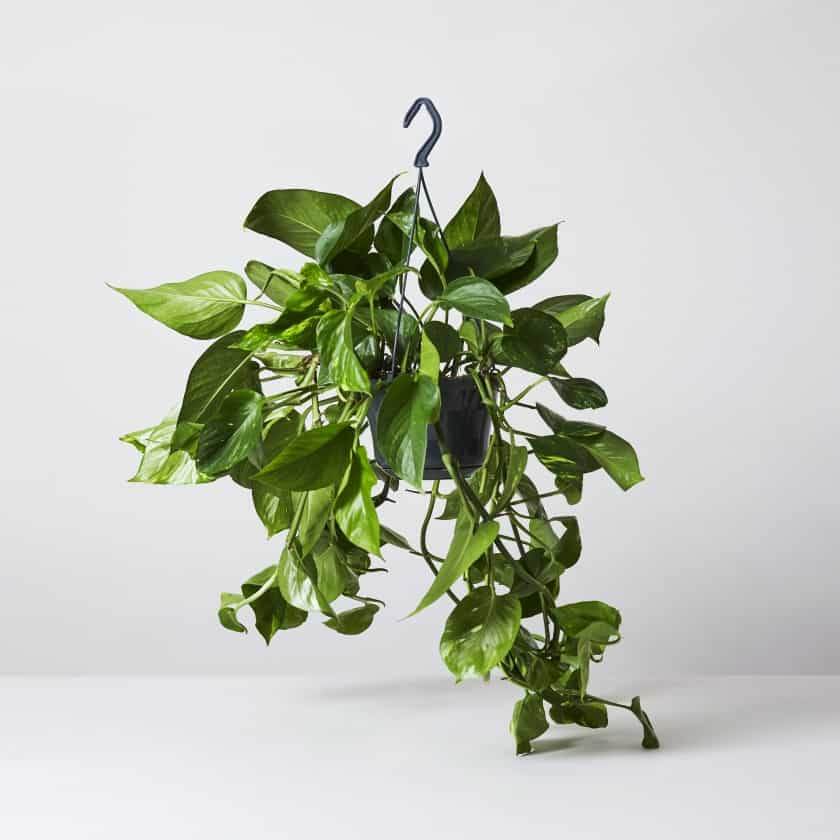 golden pothos (devil's ivy) hanging