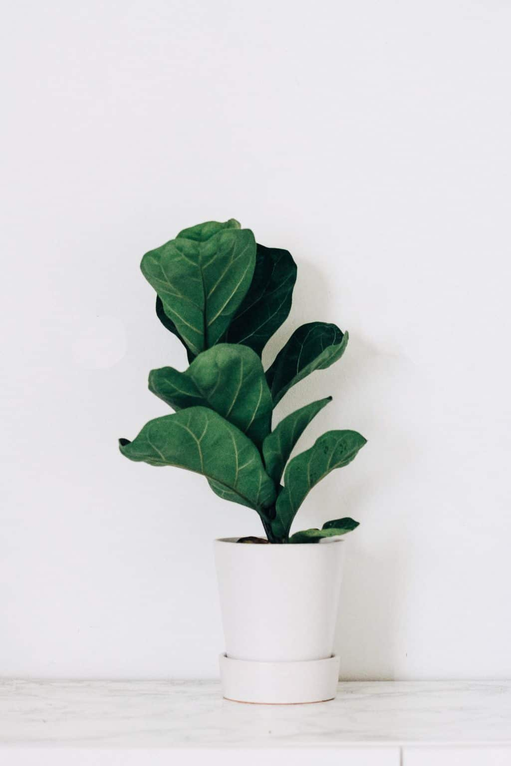 fiddle leaf fig in pot