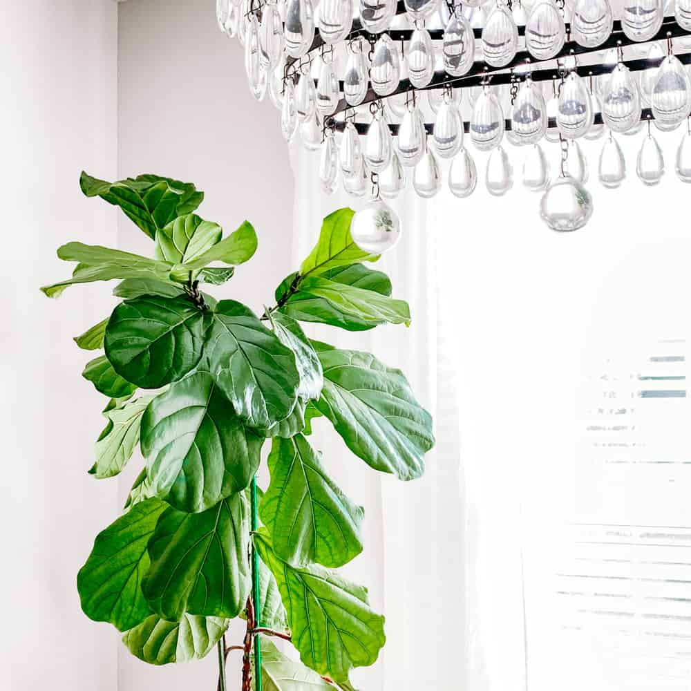 fiddle leaf fig with glass chandelier